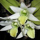 Dendrobium scabrilingue  cемян