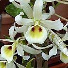 Dendrobium signatum  cемян