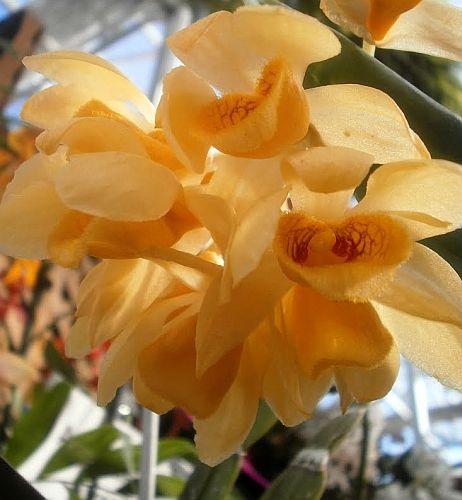 Dendrobium sulcatum Orchideen Samen