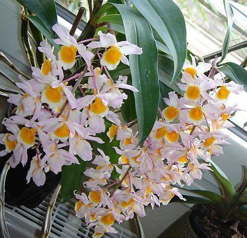 Dendrobium thyrsiflorum orquídea semillas