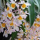 Dendrobium thyrsiflorum Orchideen Samen