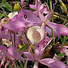 Dendrobium tortile  cемян