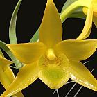 Dendrobium trigonopus  cемян