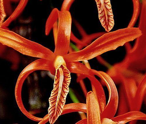 Dendrobium unicum Orchideen Samen