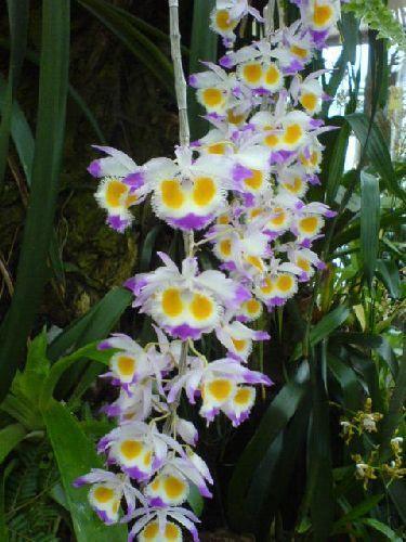 Dendrobium wardianum Orchideen Samen
