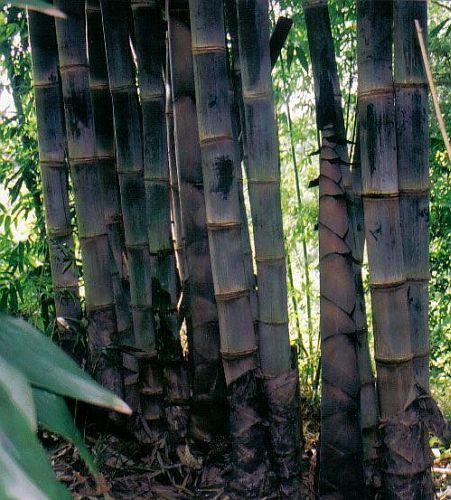 Dendrocalamus asper Betung Hitam áspera negra semillas