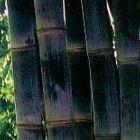 Dendrocalamus asper negro gigante de bamb? semi