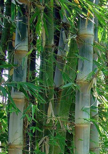 Dendrocalamus brandisii süßer Drachen Bambus - Teddybär Bambus Samen