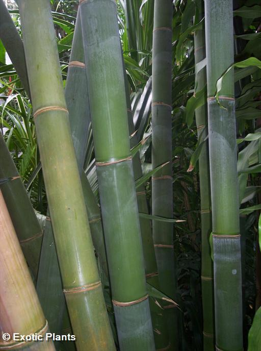 Dendrocalamus giganteus bamb gigante semi for Semi bambu gigante