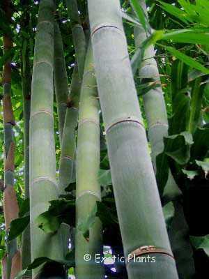 Dendrocalamus giganteus Riesenbambus Samen