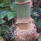 Dendrocalamus giganteus bamb? gigante semi