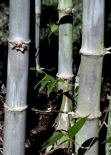 Dendrocalamus hamiltonii bambú gigante semillas