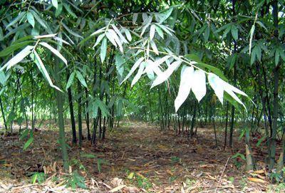 Dendrocalamus latiflorus taiwanesischer Riesenbambus Samen