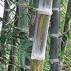 Dendrocalamus maximuslamina