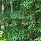 Dendrocalamus peculiaris bambou g?ant graines