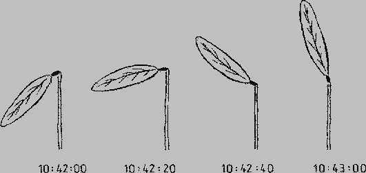 Desmodium gyrans Телеграфное растение Семена