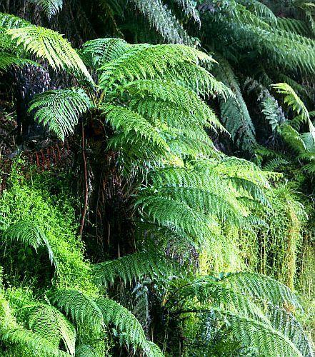 Dicksonia blumei Moore helecho árbol semillas