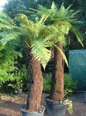 Dicksonia fibrosa Fougère d arbre d or graines