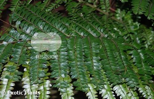 Didymochlaena truncatula Farn Samen