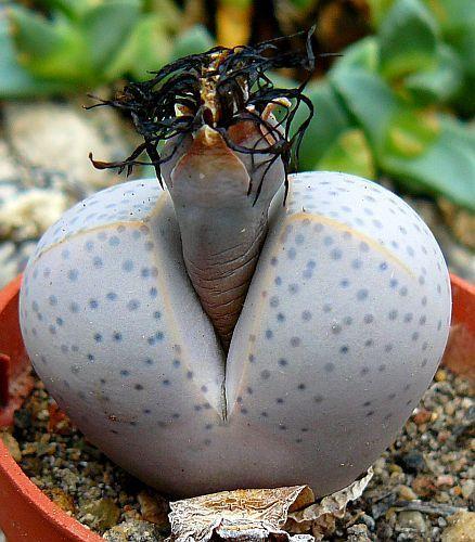 Dinteranthus wilmotianus  Семена