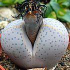 Dinteranthus wilmotianus Sukkulente Samen