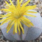 Dinteranthus wilmotianus ssp impunctatus Sukkulente Samen