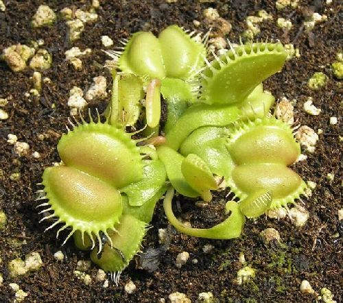 Dionaea muscipula Angel Wings  Семена