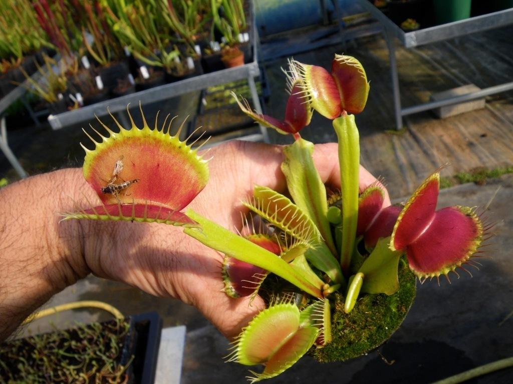 plante carnivore dionee taille