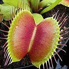 Dionaea muscipula B52  cемян
