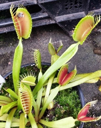 Dionaea muscipula Blezers Giant Venusfliegenfalle Samen