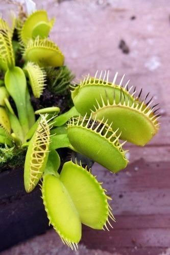 Dionaea muscipula Cerberus Venusfliegenfalle Samen