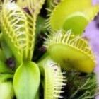 Dionaea muscipula Cerberus  cемян