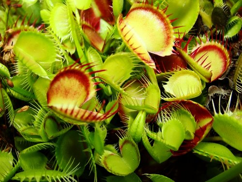Dionaea muscipula Cross Teeth  semillas