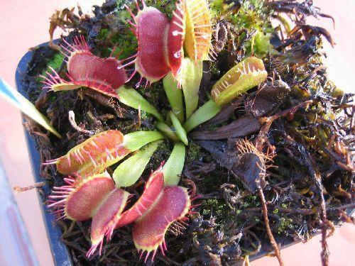 Dionaea muscipula Fondue  semillas