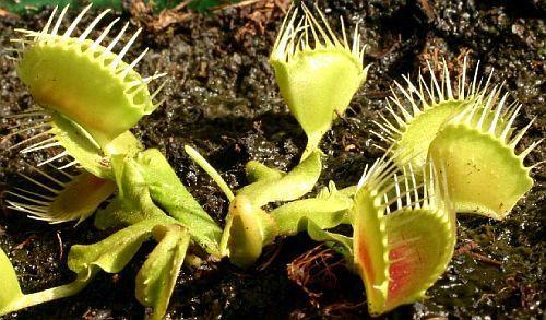 Dionaea muscipula Funnel Trap  Семена
