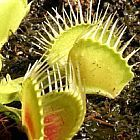 Dionaea muscipula Funnel Trap la dion?e - plante carnivore graines