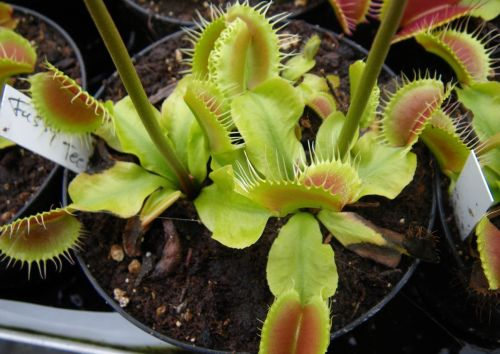 Dionaea muscipula Fussy Teeth Venusfliegenfalle Samen