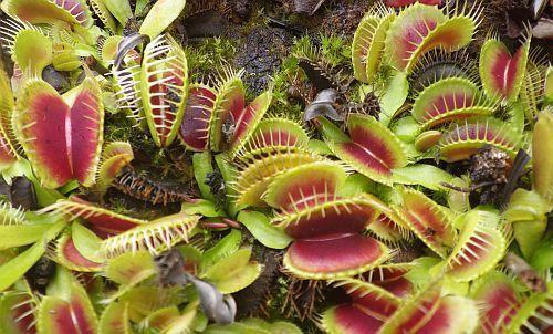 Dionaea muscipula H52 dionea atrapamoscasoVenus atrapamoscas semillas