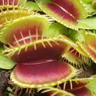 Dionaea muscipula H52 Dion?e attrape-mouche H52 graines