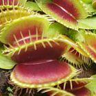 Dionaea muscipula H52  cемян