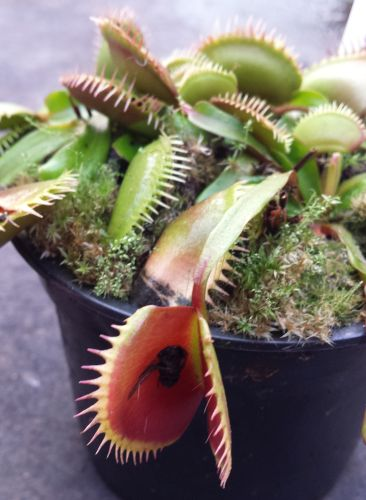 Dionaea muscipula La Grosse Venusfliegenfalle La Grosse Samen