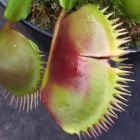 Dionaea muscipula La Grosse Dion?e La Grosse - Attrappe-mouches de V?nus graines