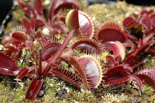 Dionaea muscipula Petite Dragon  Семена