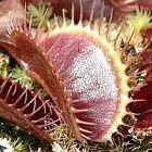 Dionaea muscipula Petite Dragon Venusfliegenfalle Samen