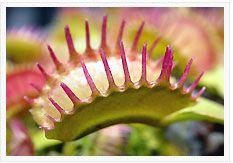 Dionaea muscipula Raptor Venusfliegenfalle Samen