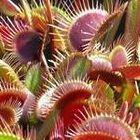 Dionaea muscipula Red Burgundy Venusfliegenfalle Samen