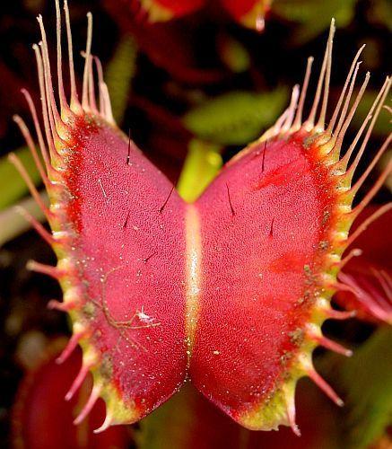 Dionaea muscipula Red Road Oxford Venusfliegenfalle Samen