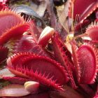 Dionaea muscipula Red Shark Teeth Venusfliegenfalle Samen