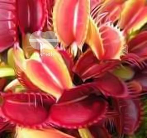 Dionaea muscipula SL 18 Red Shark Teeth Venusfliegenfalle Samen