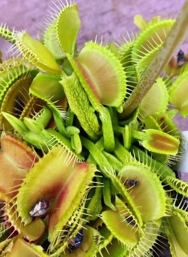 Dionaea muscipula Schuppenstiel Venusfliegenfalle Samen